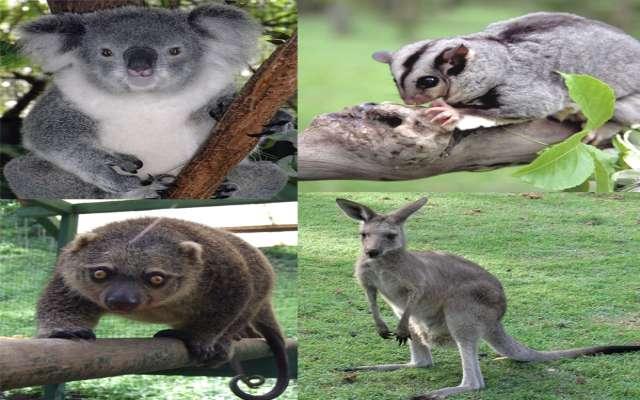 10 curiosidades sobre los marsupiales australianos