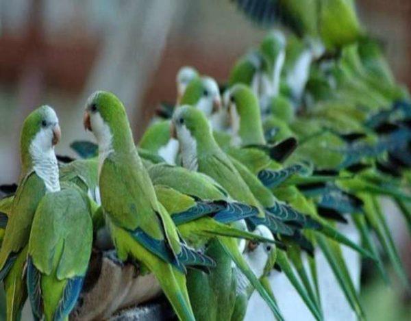 Cotorras Las aves más chillonas del planeta