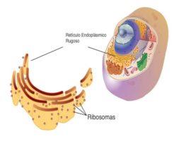 Cuál es la función de los ribosomas