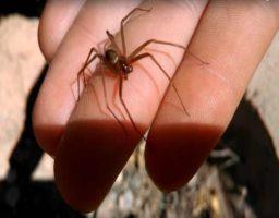 La araña violinista, la invasora más letal